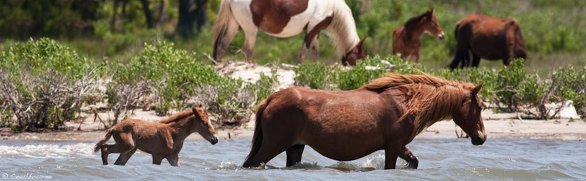 Assateague Island Visit The National Park And See The Wild Ponies