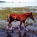Assateague Ponies